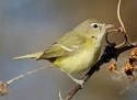 Picture of  Vireo