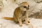Picture of a mongoose