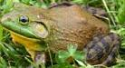 Picture of northern american bullfrog