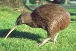 Picture of Kiwi